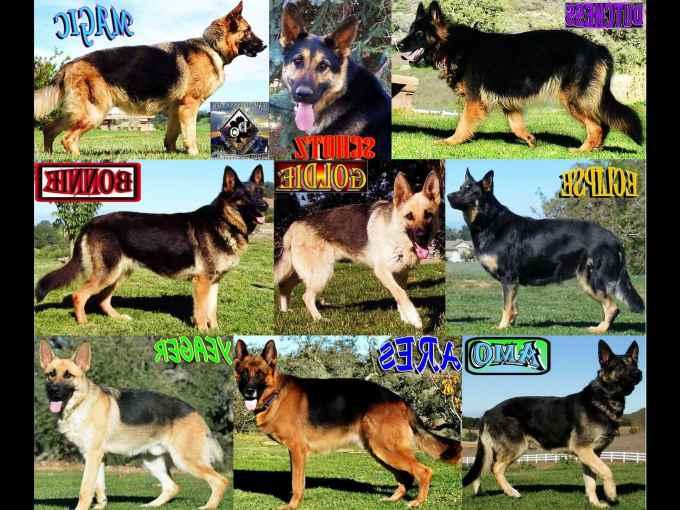 German Shepherd Dog Price List