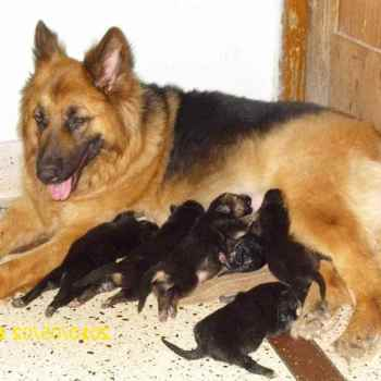 German Shepherd Dog Price