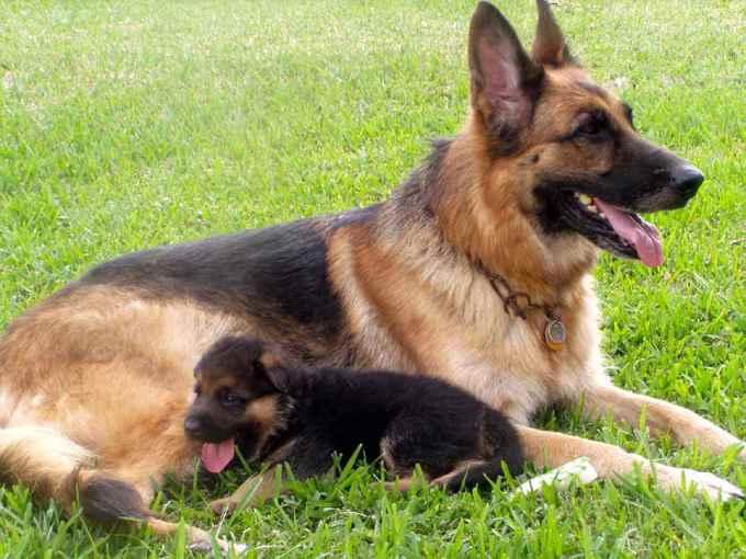 German Shepherd Dog Sale