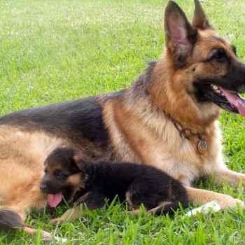 German Shepherd Dogs And Puppies
