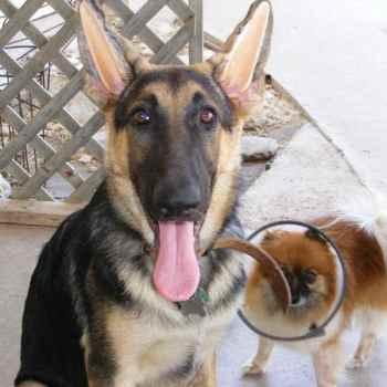 German Shepherd Ear Forms For Sale
