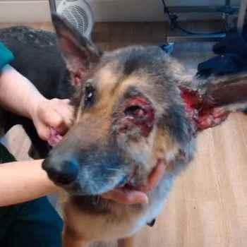 German Shepherd Ear Infection