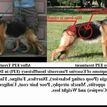 German Shepherd Epi Symptoms