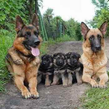 German Shepherd Family