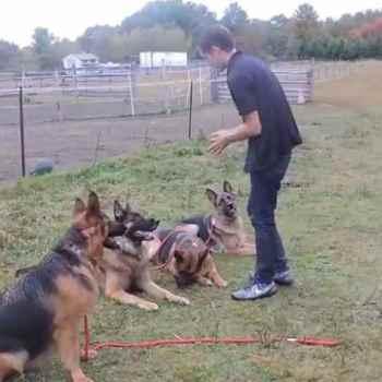 German Shepherd Farm Dog