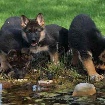 German Shepherd For Sale Az