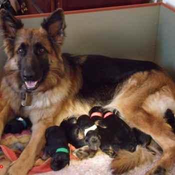 German Shepherd For Sale In Dallas Tx
