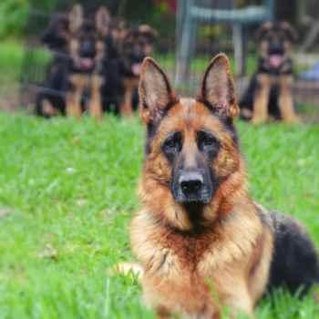 German Shepherd For Sale San Antonio