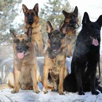 German Shepherd Group
