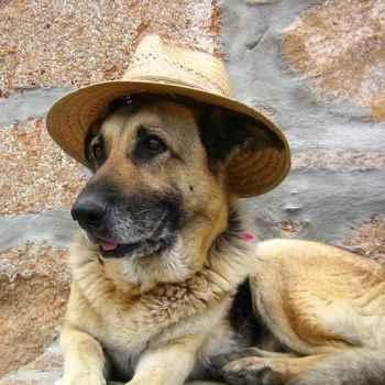 German Shepherd Hat