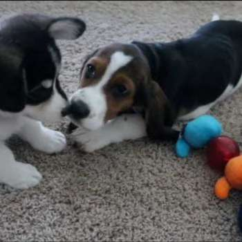 Corgi And Basset Hound