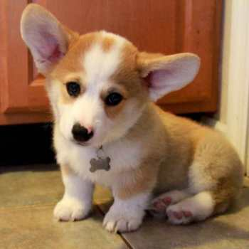 Corgi Chihuahua Mix For Sale