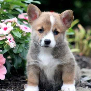 Corgi Mix Puppies For Sale Near Me