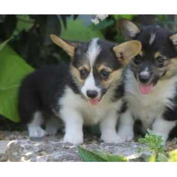 Corgi Puppies Albuquerque
