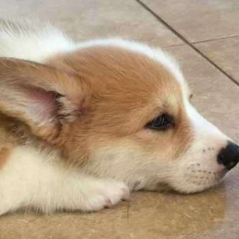 Corgi Puppies Dallas