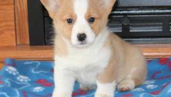 Corgi Puppies Craigslist Petsidi