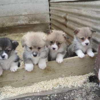 Corgi Puppies For Sale Uk