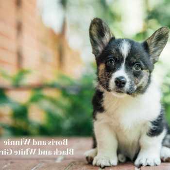 Corgi Puppies Maryland