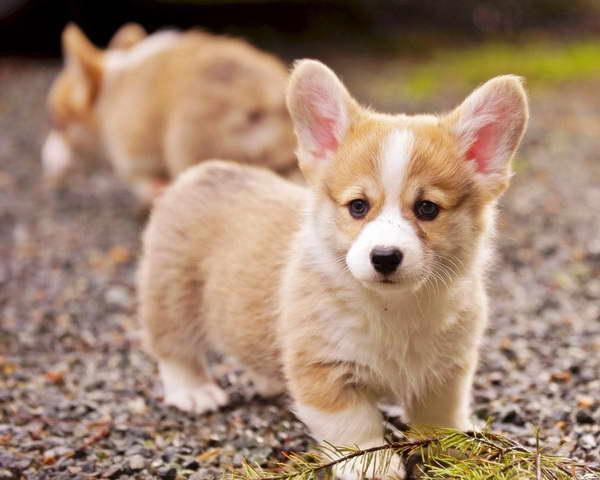 Corgi Puppies Ny