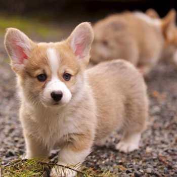 Corgi Puppies Tampa