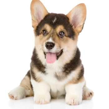 Corgi Puppy For Sale Colorado