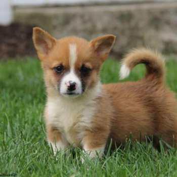 Corgi Yorkie Mix Puppies Sale