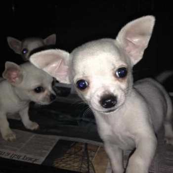 Cutest Chihuahua Puppies For Sale