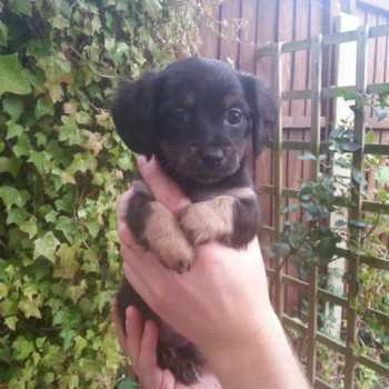Dachshund Chihuahua Puppies For Sale