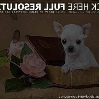 Deer Head Chihuahua Puppies Craigslist