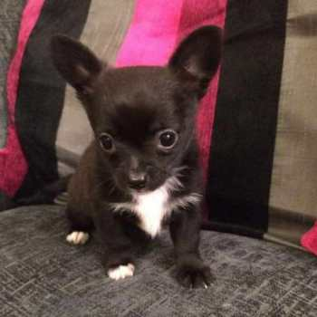 Deer Head Chihuahua Puppies For Sale