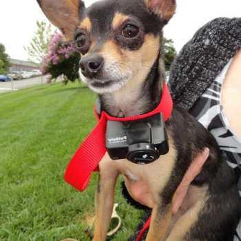 Dog Bark Collar For Chihuahua