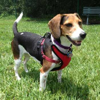 Dog Harness For Beagle