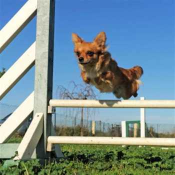 Dog Training Chihuahua