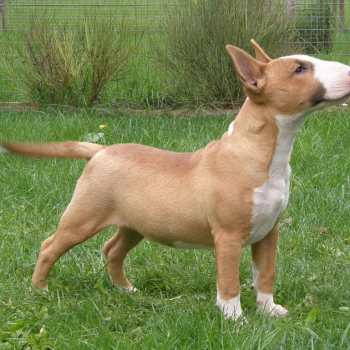 English Bull Terrier For Sale In California