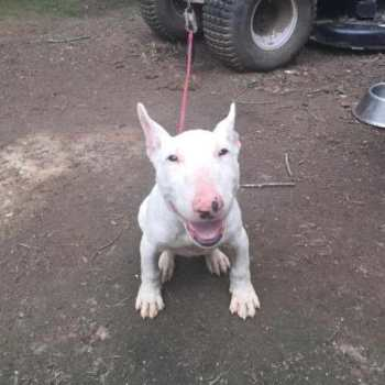 English Bull Terrier For Sale In Texas