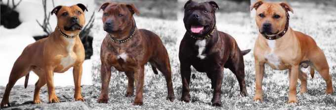 English Staffordshire Bull Terrier Kennels