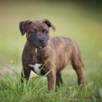 English Staffordshire Bull Terrier Puppies For Sale