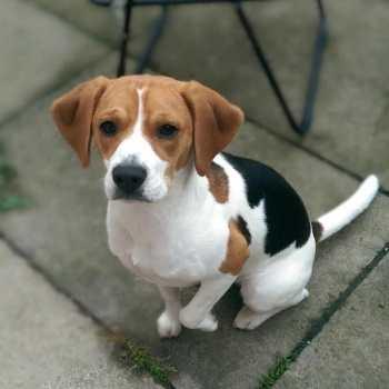 Female Beagle For Sale