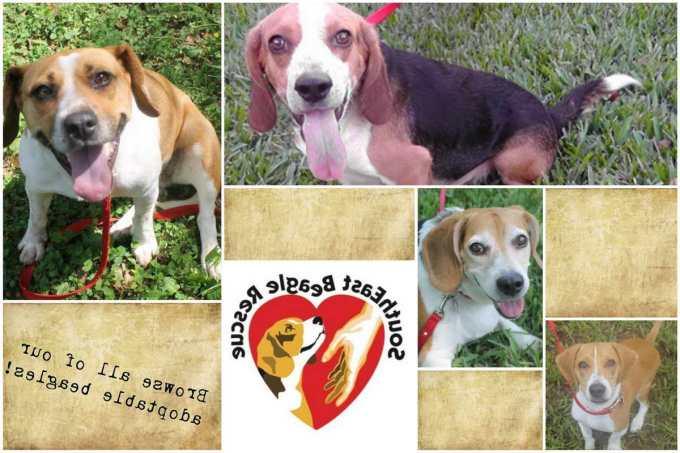 Florida Beagle Rescue