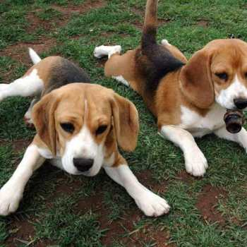 Foxhound Beagle Mix