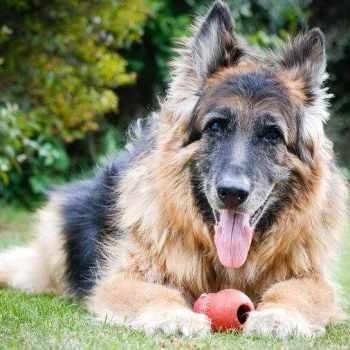 German Shepherd Hip Pain Home Remedies