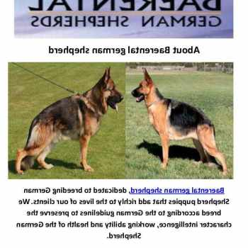 German Shepherd Houston Tx
