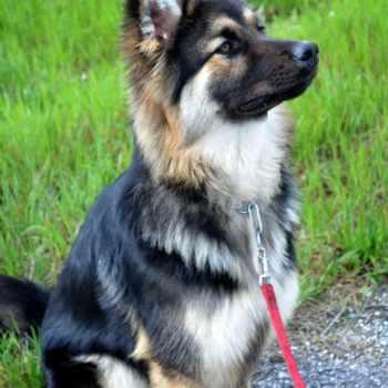 German Shepherd Husky Mix Breeders