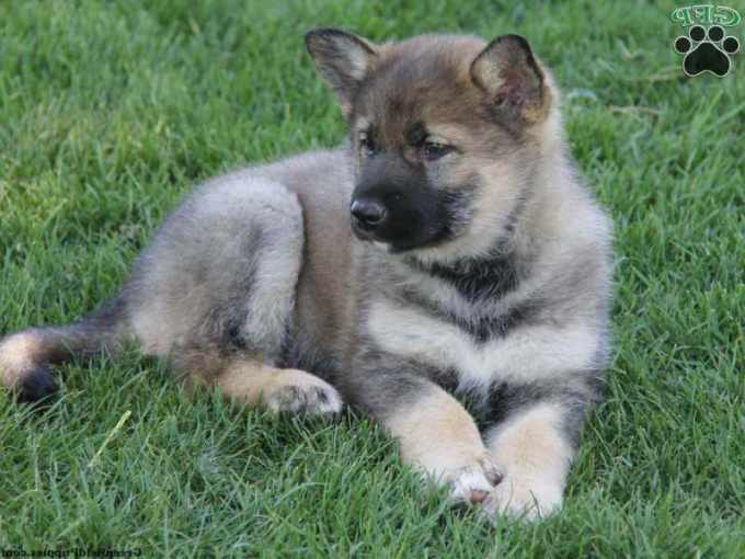 German Shepherd Husky Mix For Sale In Pa