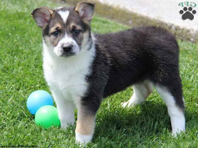 German Shepherd Husky Mix For Sale Nc