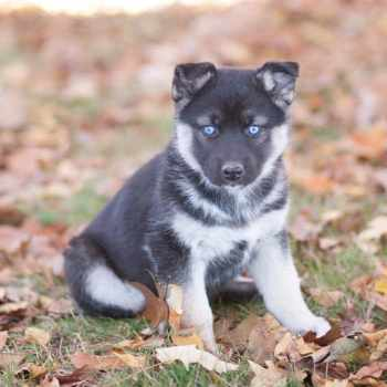 German Shepherd Husky Mix Puppies For Sale Craigslist