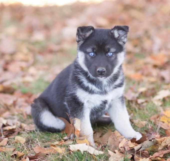 German Shepherd Husky Mix Puppies For Sale Craigslist
