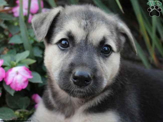 German Shepherd Husky Mix Puppies For Sale In Ohio