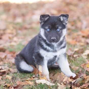 German Shepherd Husky Mix Puppies For Sale In Virginia