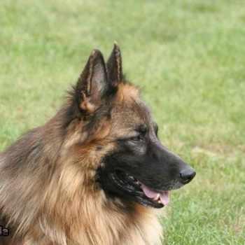 German Shepherd Long Hair